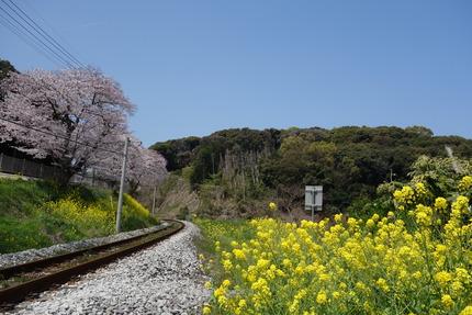 13-多良見町古川の桜DSC04147