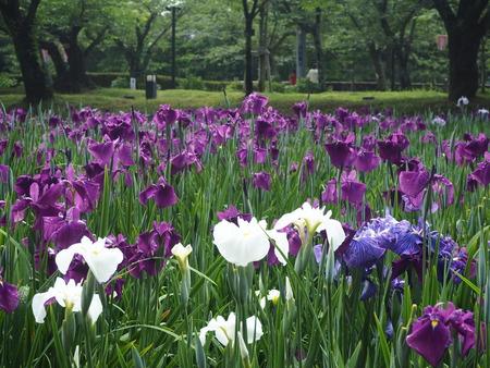 7-大村公園 花菖蒲PP5310035
