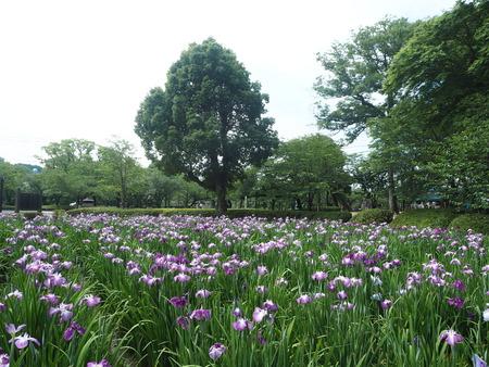 3-大村公園 花菖蒲PP5310022