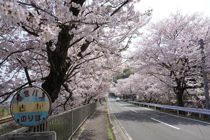 20-多良見古川の桜DSC04716