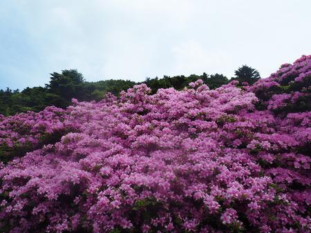 15-雲仙市仁田峠 ミヤマキリシマP5231691