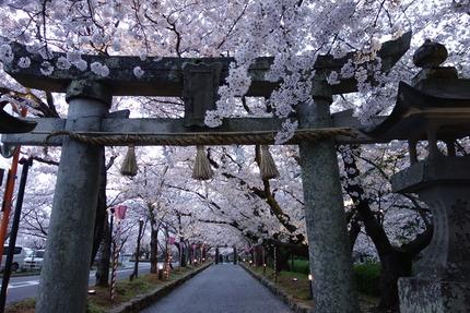 4−大村公園の桜DSC04908