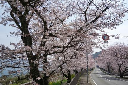 3-多良見町古川の桜DSC04059 - コピー