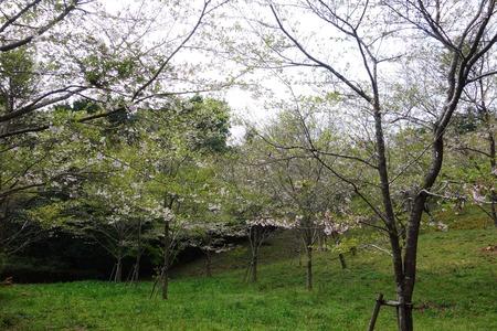 17-桜の森DSC06262