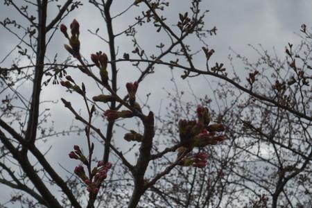 14−白木峰高原 桜DSC01575