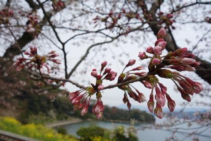 019−国道207号線多良見町古川の桜DSC03559