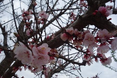 22−森山町桜まつりDSC01258