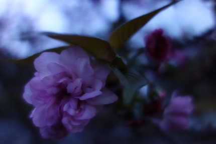 10−大村桜DSC04981
