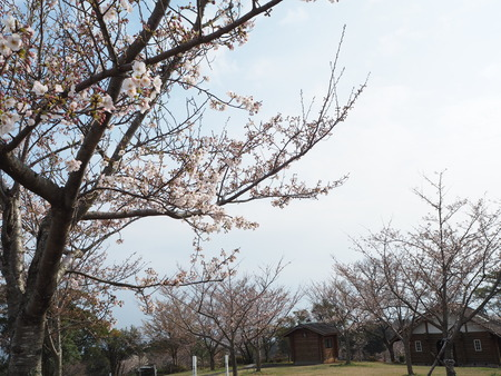 7-諫早市 白木峰高原の菜の花P3193553