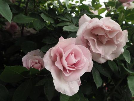 23-諫早市大場町 大室さんのバラ園 P5161236