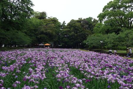 6-大村公園 花菖蒲DSC07506