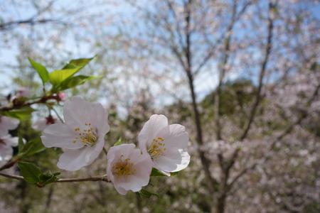 25-大村市千本桜公園DSC06003