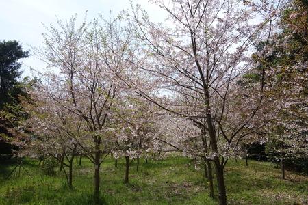 22-大村市千本桜公園DSC05954