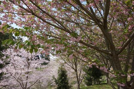 20-大村市千本桜公園DSC05950