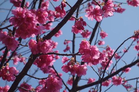 17-国見町神代小路 緋寒桜の郷まつりDSC00407