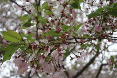 7−多良見町古川の桜並木DSC01976