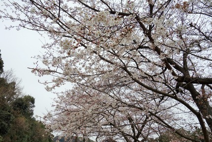 7−国道207号線多良見町古川の桜4DSC03486