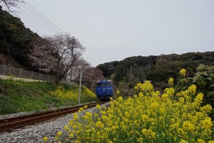 15−国道207号線多良見町古川の桜DSC03611