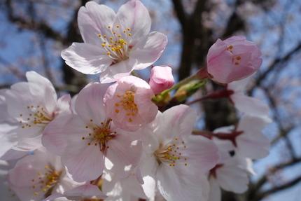 6-多良見町古川の桜DSC04085
