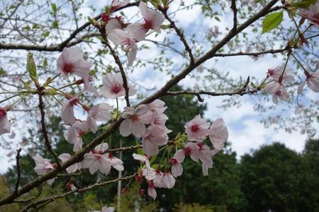 18-桜の森DSC06264