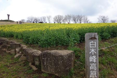 12-白木峰高原 菜の花DSC0153012--