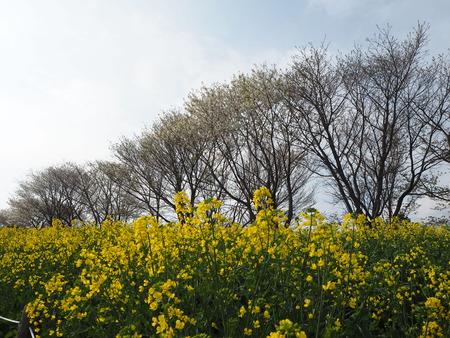 15-諫早市 白木峰高原の菜の花P3193579