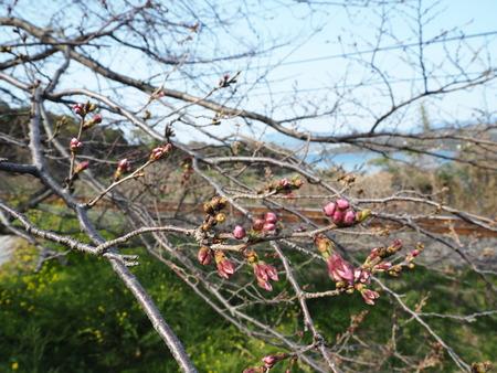 3-諫早市多良見町古川の桜並木P3212713