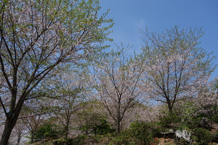 24-大村市千本桜公園DSC05983