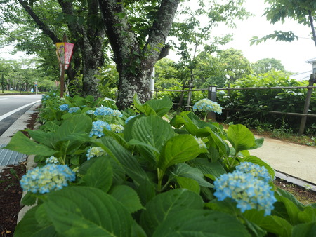13-大村公園 花菖蒲PP5310120