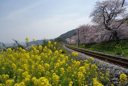 10-多良見町古川の桜DSC04129