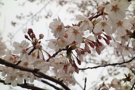 9−207号線多良見町古川の桜DSC03489