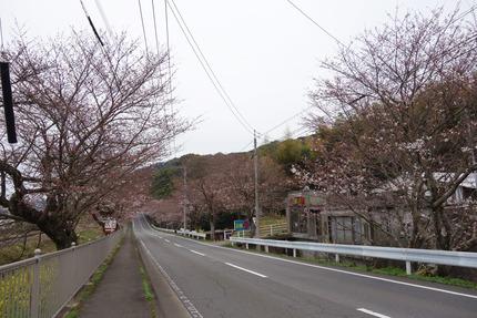 14−国道207号線多良見町古川の桜DSC03630
