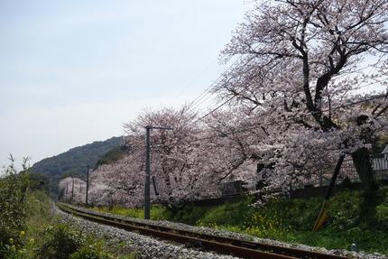 11-多良見町古川の桜DSC04143
