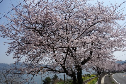 2-多良見町古川の桜DSC04053 - コピー