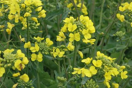 14白木峰高原 菜の花DSC01553