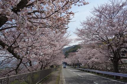 4-多良見町古川の桜DSC04155