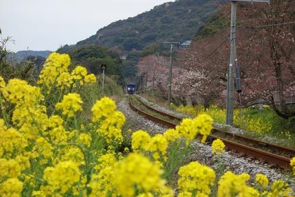 17−国道207号線多良見町古川の桜DSC03595