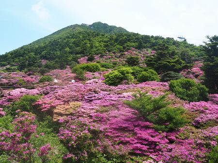 8-雲仙市仁田峠 ミヤマキリシマP5231644