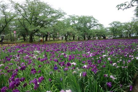 7-大村公園 花菖蒲DSC07527
