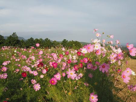 11-白木峰高原 コスモス畑PA110860