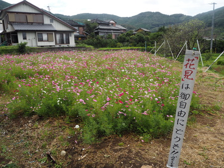 5−多良見町大草 コスモス畑PA191940