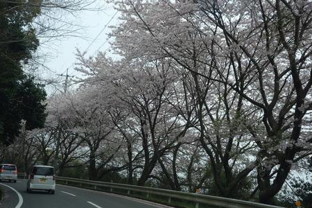 4−唐比の桜DSC01879