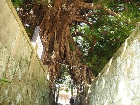 41-奈良尾神社 あこうの木PB210941
