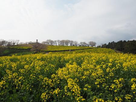 12-諫早市 白木峰高原の菜の花P3193611