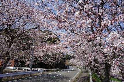 9-多良見町古川の桜DSC04116