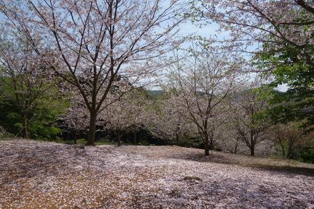 22-大村市千本桜公園DSC05972