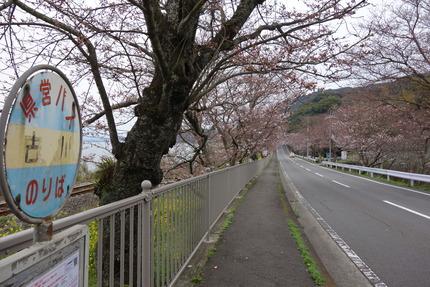 018−国道207号線多良見町古川の桜DSC03628