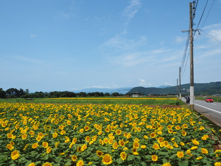 1−愛野町のひまわり畑P6280582