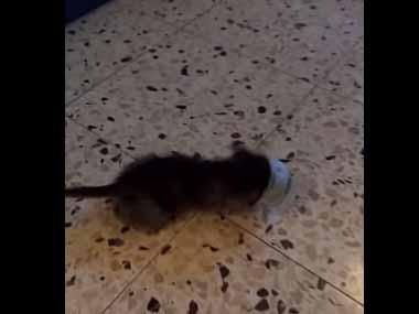 うちの子ネコが「猫缶」に頭を突っ込んでいた。もっと食べたいにゃ! → こうなる…