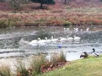 先頭が大変すぎる白鳥の湖。先頭のあの子は白鳥界で偉いさんなのかそれとも・・・。